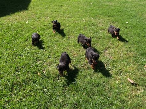 rottweiler puppies for sale in dallas area kb kennel yugslavian german rottweiler for sale in missouri city animals nstuff