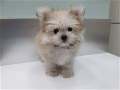 maltese pomeranian mix the world s catalog of ideas