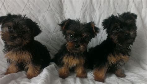 yorkie dogs for sale terriers for sale maesteg bridgend pets4homes