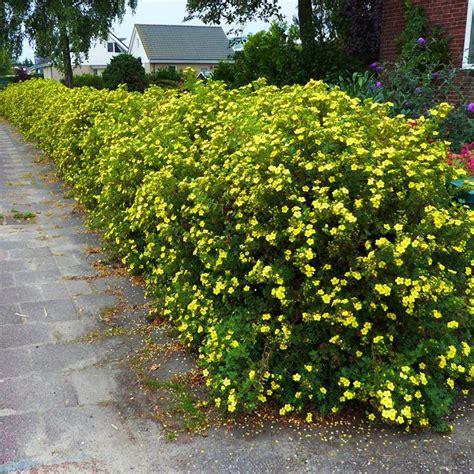 Potentilla Fruticosa 10 Hedge Plants Buy Online Order