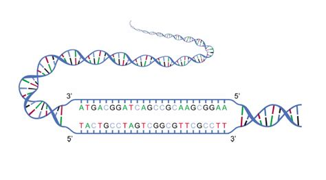file dna strands png wikimedia commons