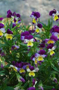 List Of Evergreen Fruit Trees - johnny jump up viola tricolor in edmonton st albert sherwood park stony plain alberta ab at