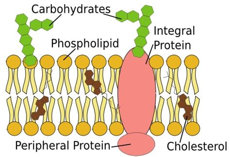 carbohydrates on cell membranes help cells structure and function of cell membranes assignment help