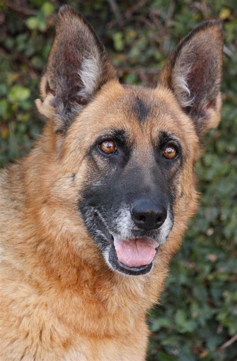westside german shepherd rescue 93 best adopted dogs images on
