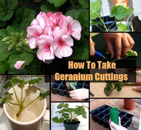how to take geranium cuttings diycozyworld home improvement and garden tips