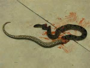 Snakes In The Snake Slayer Thepioneersofpanama
