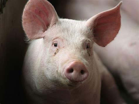 asal mula babi jadi konsumsi  adat batak tagar
