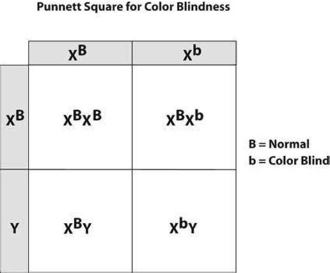 color blindness genetics how can a punnett square for color blindness be created
