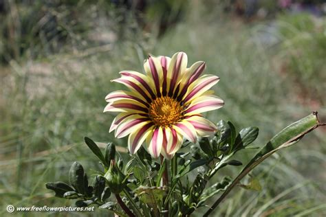 floral pictures gazania flower picture flower pictures 3685
