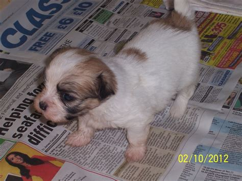 mal shi puppies for sale mal shi puppies for sale hull east of pets4homes
