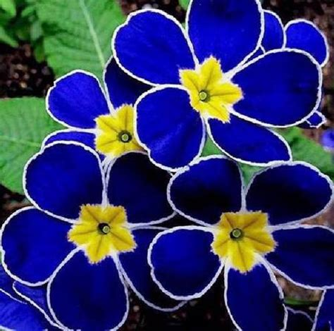 Bunga Indah 005 bunga biru yang sangat cantik rinddiany