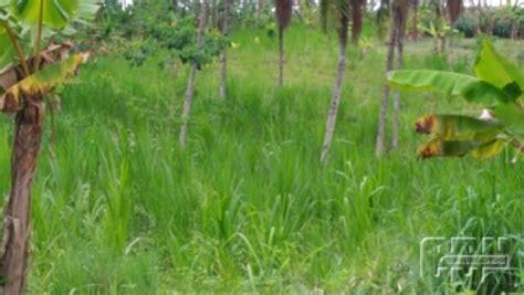 Tempat Produksi Pakan Ternak sadapan turun petani maksimalkan integrasi lahan karet