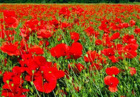 fiori papaveri le origini della parola quot oppio quot notizie it