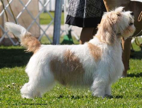 grand dogs basset griffon vend 233 en grand with master photo and wallpaper beautiful basset