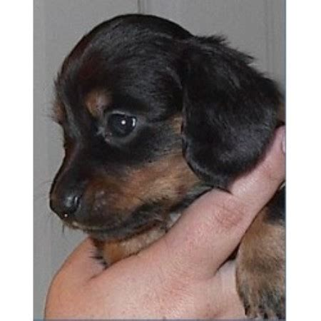 puppies for sale in state college pa laurel valley dachshund breeder in state college pennsylvania