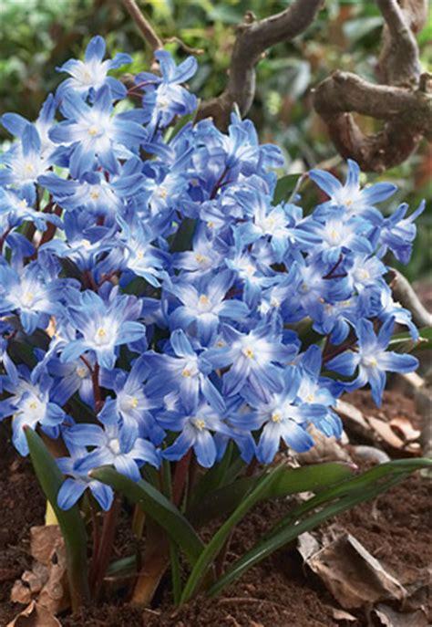 glory   snow chionodoxa forbesii blue giant