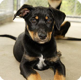 rottweiler and shepherd mix puppies janet adopted puppy west warwick ri rottweiler australian shepherd mix