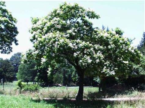 alberi da giardino sempreverdi a crescita rapida la catalpa albero a crescita rapida e fioritura