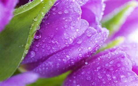 fiori hd violet flowers hd wallpapers