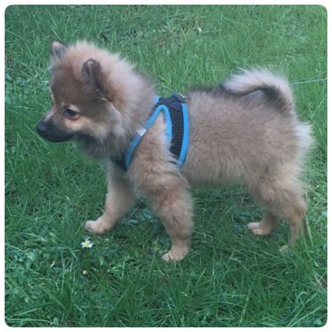 4 month pomeranian puppy 5 months pomeranian puppy for sale cardiff cardiff pets4homes