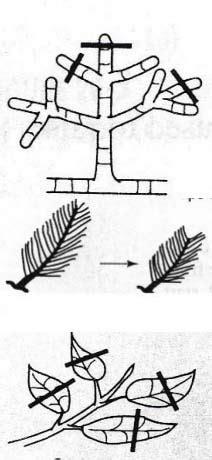 gambar sisir pemangkasan teknik budidaya tanaman bonsai garnesia com
