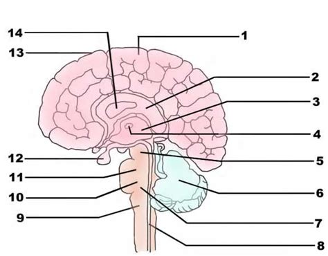 brain sections quiz brain parts and functions inventory form