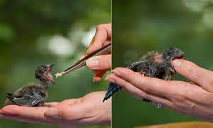 baby bird attempts to swallow carer s thumb during feed