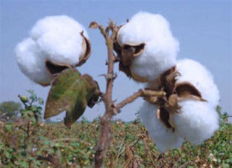 Atomix Cotton Organic Kapas Organic cotton futures rise as demand builds up business line