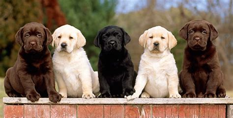 labrador colors discovering my for dogs overcoming my fear of them