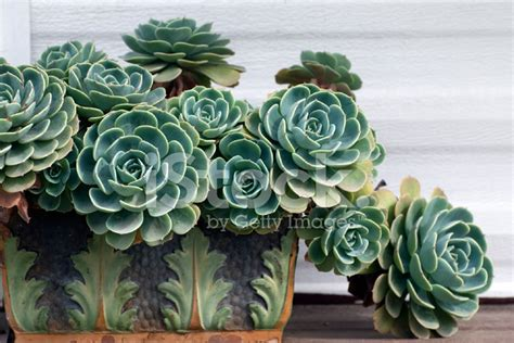 Frame Pinwheel Plastic Photo aeonium in pot stock photos freeimages