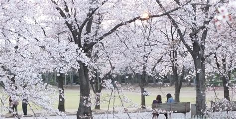 in japanese hanami finding cherry blossoms almost anywhere in japan introvertjapan