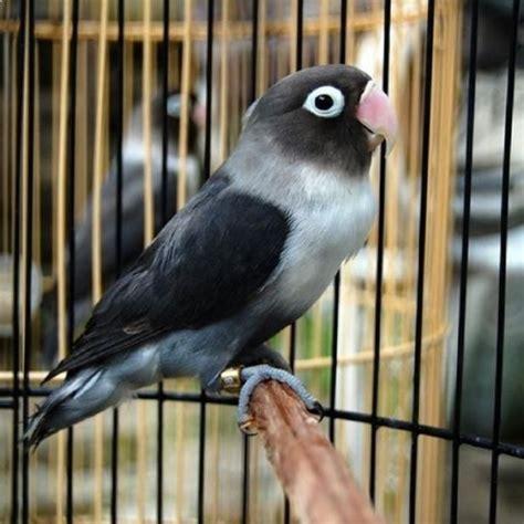 Jual Burung Lovebird burung lovebird batman bird bird