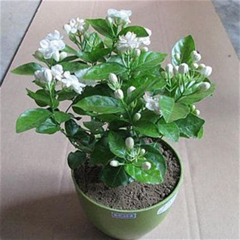 fragrant potted plants buy indoor seedlings potted flowers fragrant white