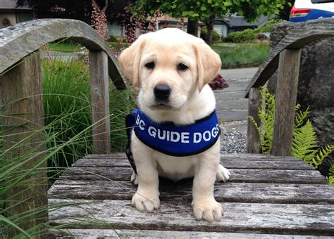 how to guide dogs career canines the of a working canadahelps donate to any charity in canada