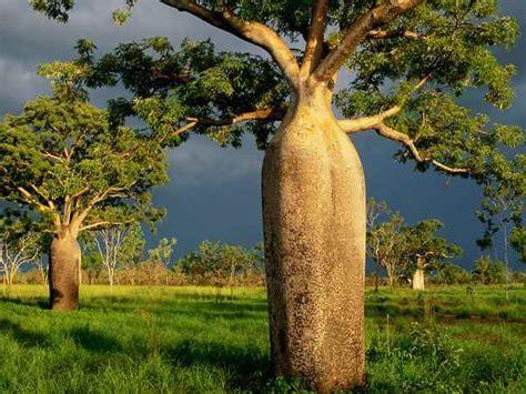 fashion inn 4us boab trees kimberley