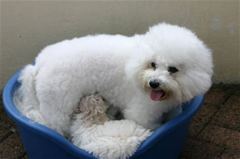 teacup bichon frise puppies for sale never buy a bichon frise puppy from a puppy farm breeds picture