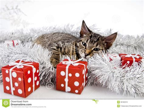 cat christmas present stock photo image of eves