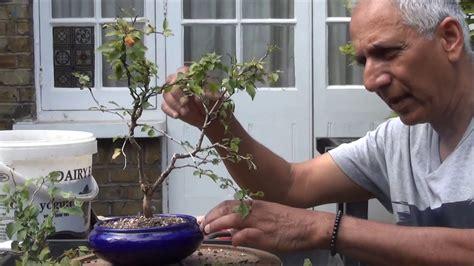 Instant Bonsai Just Remove Genes by New Bonsai Flower Tree Fuji Cherry Kojo No Mai You