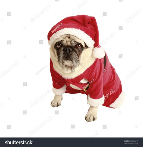 pug in santa costume pug in santa costume exempted white background dressed as santa claus looking