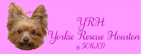 houston yorkie rescue welcome www yorkierescuehouston org