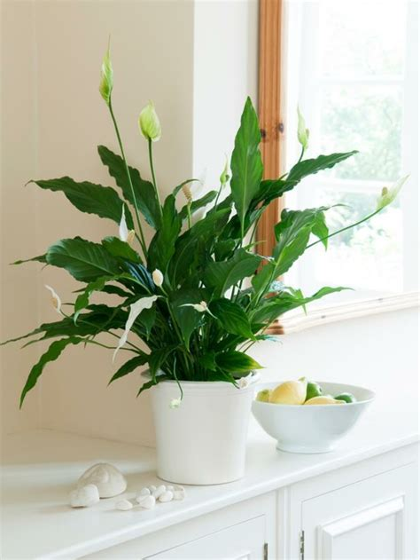 Beliebte Zimmerpflanzen Bilder by Beliebte Zimmerpflanzen Sch 246 Ne Pflegeleichte Gr 252 Npflanzen