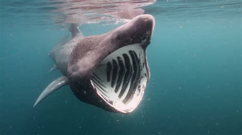 baby shark urban dictionary basking shark google search form pinterest basking