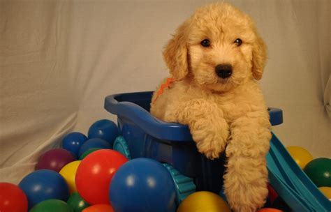 puppies richmond va goldendoodle puppies richmond va goldendoodles omaha goldendoodle breeds picture
