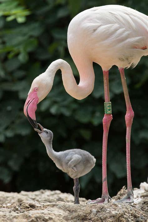 zoo vienna  tons  pink flamingo chicks zooborns