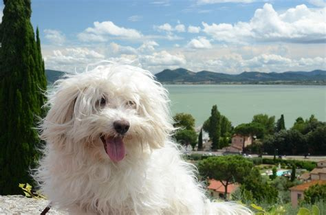 maltese poodle lifespan breeds bichon bolognese temperament and personality