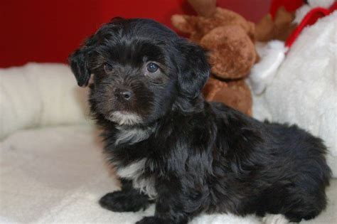 black havanese puppies black havanese puppies us bichon for sale puppys and havanese