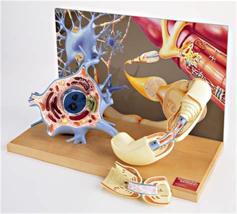 model of a motor neuron motor neuron diorama model anatomy models and anatomical