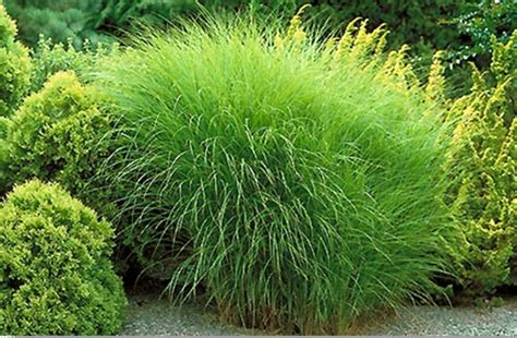 ornamental grasses plant of the month january