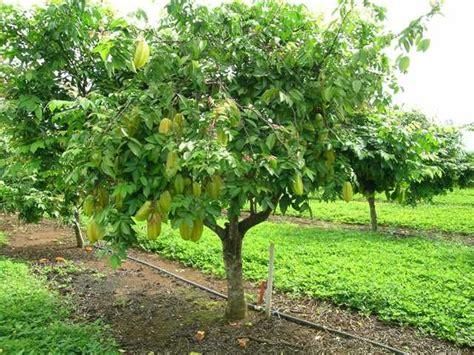 carambola fruit tree sparks mexico my new fruit trees