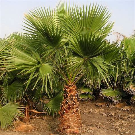 planting fan palm trees buy cold hardy palm trees wholesale plant nursery